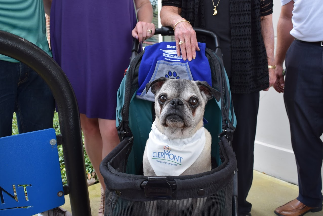Beefy sits in his stroller wearing a City of Clermont bandana.